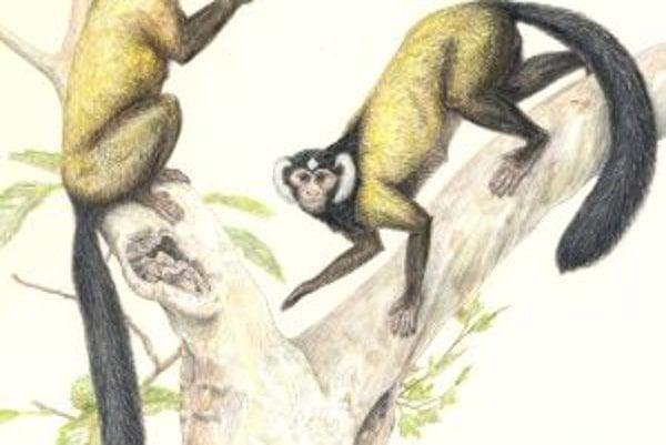 Umelecká rekonštrukcia podoby najbližšieho spoločného predka antropoidov - opíc, ľudoopov a ľudí, primáta druhu Ganlea megacanina, ktorého fosílie sa našli v Mjanmarsku.