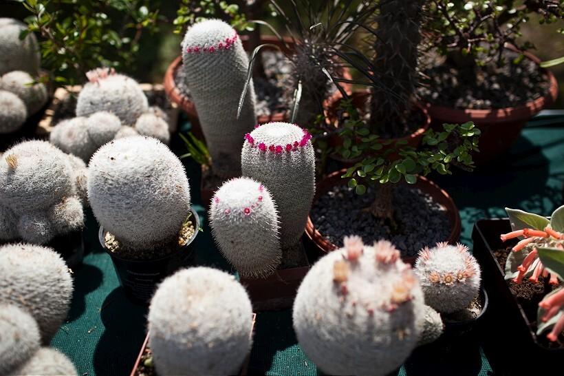 kaktus4-820.jpg