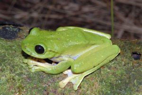 Veľká stromová žaba z rodu Nyctimystes s obrovskými očami. Výprava tento nový druh objavila pri horskej rieke.