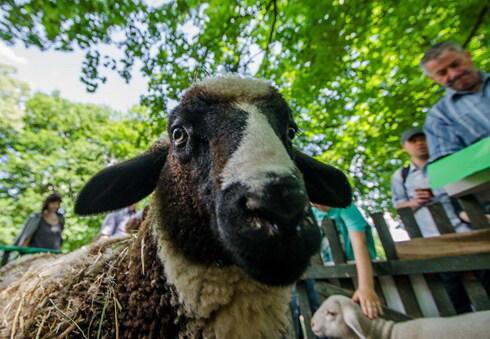 ovca.jpg