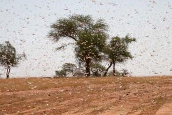 Roj púštnych kobyliek nad poľom v západoafrickej krajine Burkina Faso.