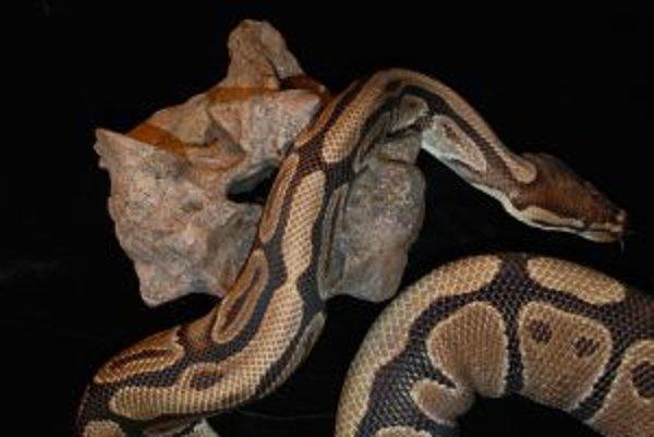 Stavec obrovského veľhada z treťohornej Kolumbie vedľa dospelého jedinca jeho dnešného vzdialenejšieho príbuzného, pytóna kráľovského (Python regius).