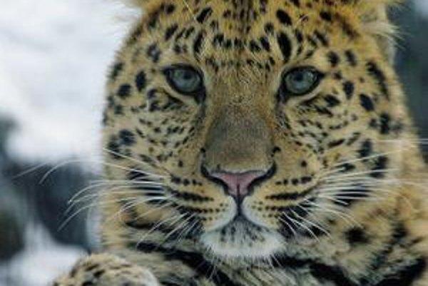 Leopard škvrnitý amurský.