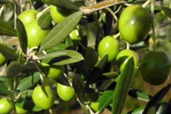 Súčasťou marockej záhrady sú aj olivovníky.