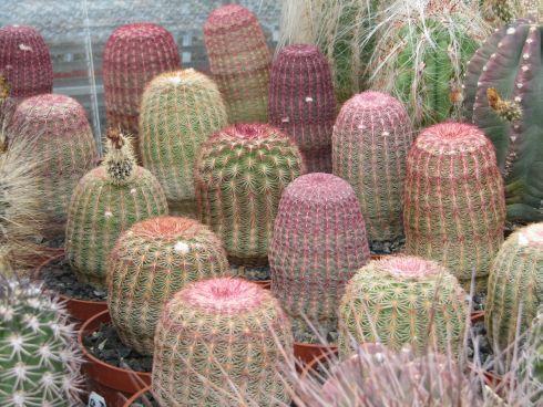 kaktus-zmenseny-tri.jpg