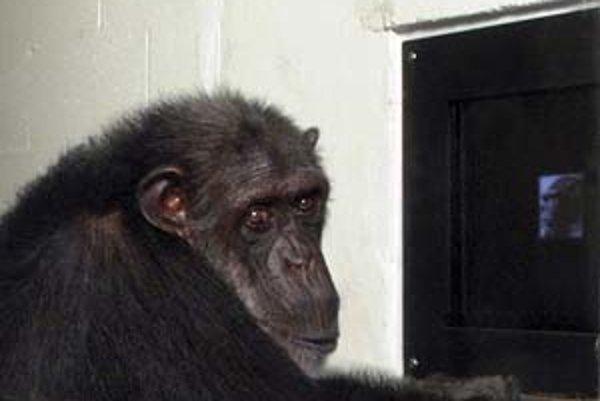 Šimpanzy nám zrejme pripravia ešte nejedno prekvapenie.