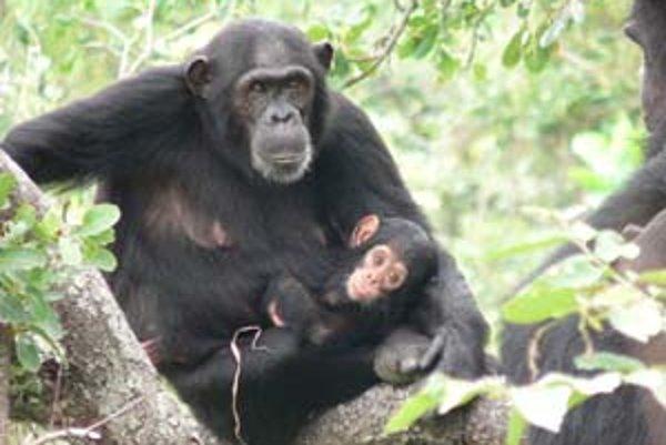 Táto šimpanzia matka s mláďaťom v Národnom parku na toku Gombe v Tanzánii je SIV-pozitívna.