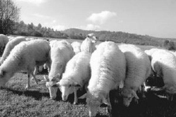 Jedným z cieľov práce tímu Charlesa Roselliho je zlepšiť kvalitu chovu oviec.