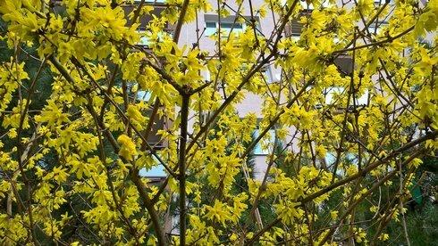zlaty-dazd-jar-kvety-botosova-jazdecka_r4542_res.jpg