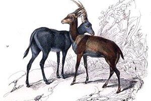 V prírode sa kedysi vyskytovala modrá antilopa (vľavo). Naposledy ju pozorovali v roku 1800 v Afrike.