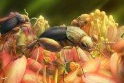 Umelecká predstava o hmyze, ktorý pred sto miliónmi rokov rozširoval peľ kvitnúcich rastlín.