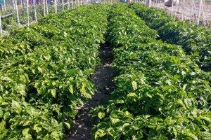 Čili papričky pestuje doma