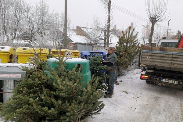 V Spišskom Podhradí sa začal zber živých vianočných stromčekov.