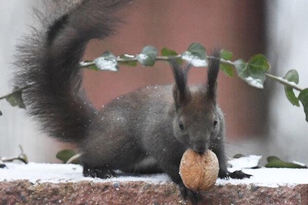 Veverička obyčajná si pochutnáva na orechu.