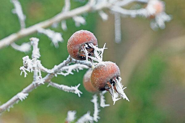Kvitne až v máji, vďaka čomu uniká neskorým jarným mrazíkom, dozrieva však až po jesenných mrazoch.
