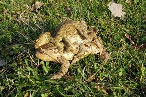S príchodom jari sa žaby opäť sťahujú k vode.