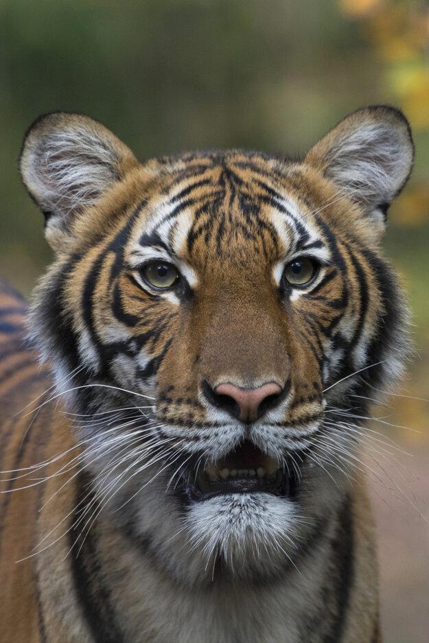Samica tigra malajského Nadia.