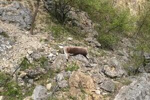 Uhynutá samica daniela, ktorá sa zrútila z brala po uštvaní voľne pustenými psami.