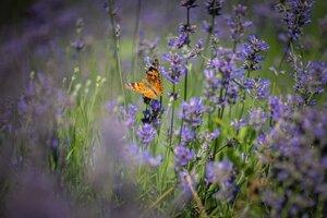 Ilustračná fotografia. Krídla motýľov majú proti dažďovým kvapkám dvojitú obranu. Tá znižuje vplyv vody, ktorá živočícha zasiahne.