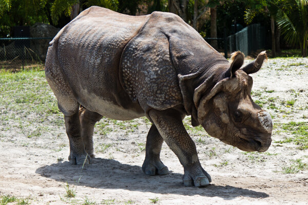 Archívny záber nosorožca jávskeho v zajatí.