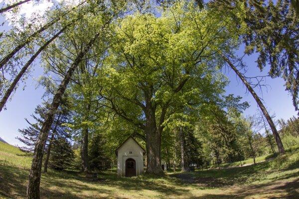 Lipa na zákamenskej kalvárii bojuje o titul Strom roka 2020.