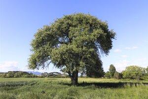 Strom roka 2020 môže byť aj zLaclavej.