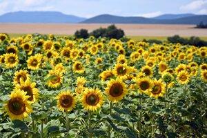 Slnečnica sa využíva ako krmivo i na výrobu olejov.