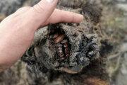 Pastieri objavili nezvyčajne dobre zachovanú múmiu medveďa jaskynného