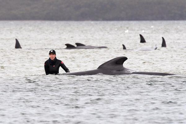 Záchranárka pri jednej z uviaznutých veľrýb v zátoke Macquarie Harbour neďaleko mesta Strahan na západe Tasmánie.