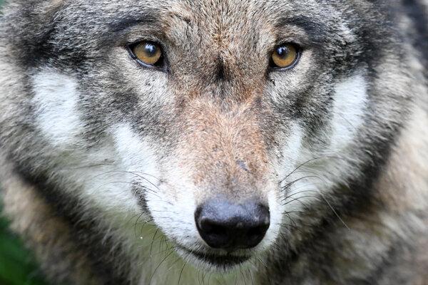 Vlk dravý patrí do našich lesov.