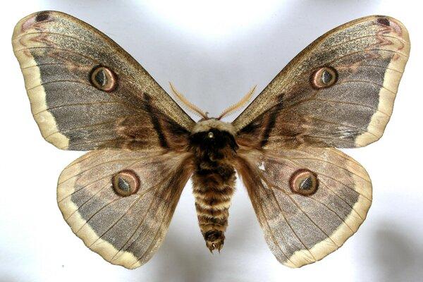 Najväčším nočným motýľom na Slovensku je okáň hruškový.