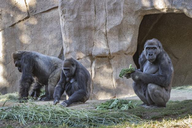 Všetky gorily v zoo v San Diegu sú teraz pre nákazu koronavírusom v karanténe.