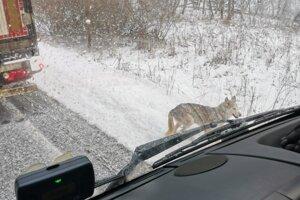 Situáciu komplikujú vystrašené psy, ktoré behajú po ceste.