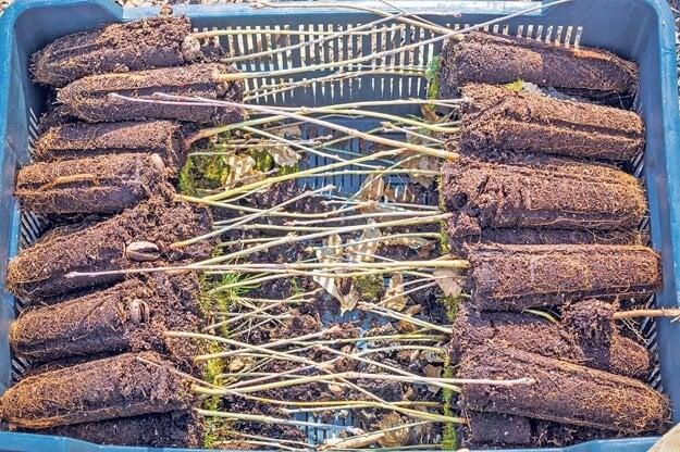 Mladé duby naočkované hľuzovkami, pripravené na výsadbu.