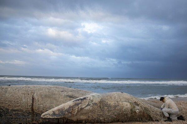 Morský veterinár odoberá vzorky z mŕtvej veľryby vyplavenej na pláži v rezervácii Nitzanim v Izraeli.