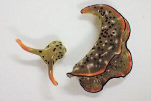 Oddelená hlava morského slimáka elysia cf. marginata. Z dvoch kusov prežije iba hlava, staré telo po pár týždňoch či mesiacoch odumrie.