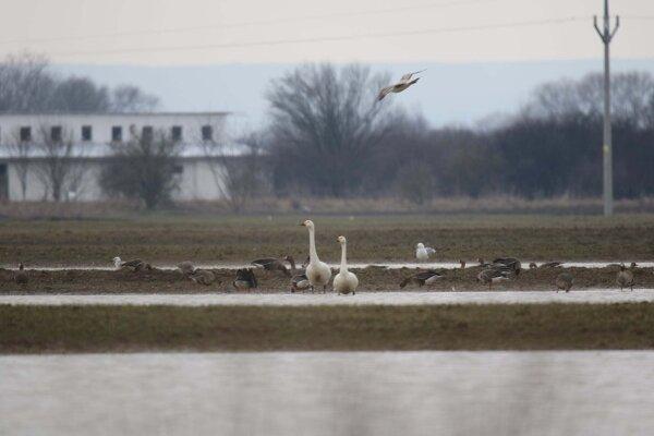 Labuť malá na Senianskych rybníkoch.