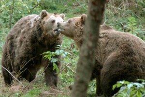 Medvede si začínajú hľadať partnerky.