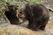 Pitva potvrdila prvé zabitie človeka medveďom.
