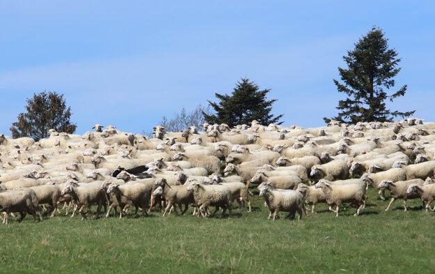 Ovečky na paši počas mediálneho dňa na ovčej farme v Turčeku.