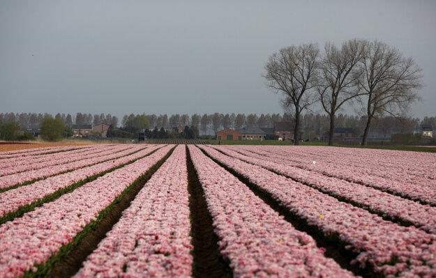 Ružové tulipány kvitnú na tulipánovom poli v belgickom meste Meerdonk.
