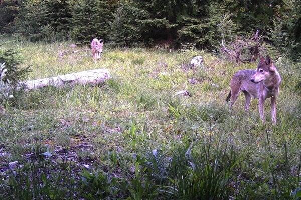 Vlky sa už od júna nebudú môcť loviť.