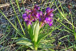 Na Devínskej Kobyle rastú aj vzácne orchidey, na snímke vstavač obyčajný.