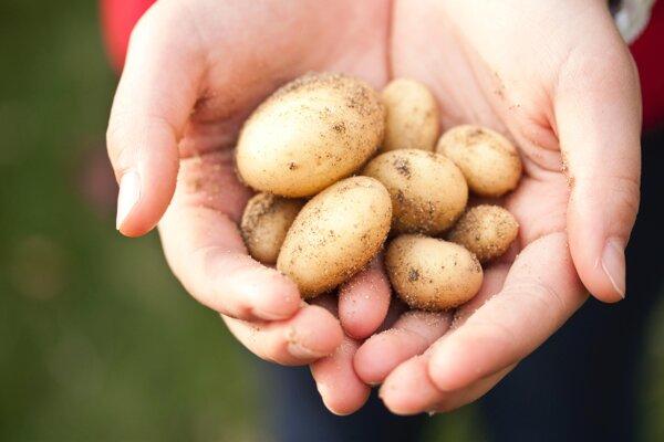 Okrem správnej prípravy zemiakov je dôležité aj ich skladovanie.