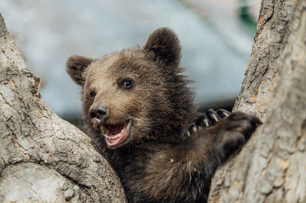 Osirelé medvieďa z Polonín prežilo a je vo veľmi dobrej fyzickej kondícii