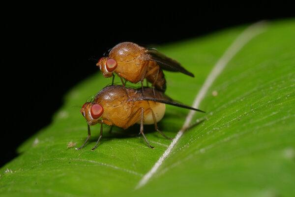 Samičky vínnej mušky sa pária aj so súrodencami. (Ilustračné foto)