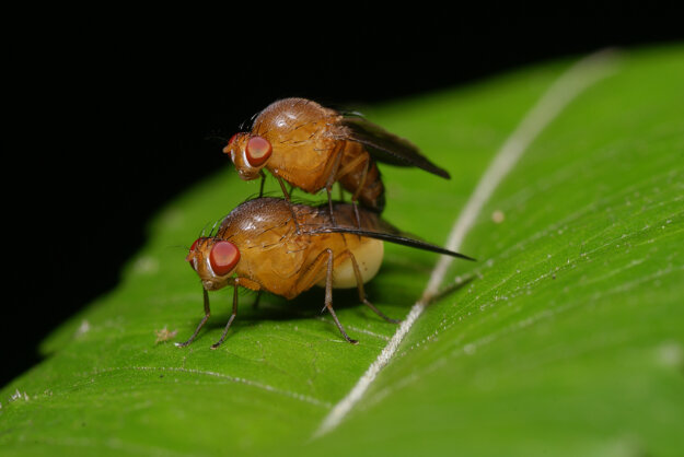 Samičky vínnej mušky sa pária aj so súrodencami.