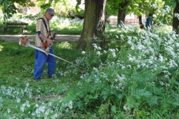Takto vyzerala tráva v Prílepoch, ktoré sú mestskou časťou Zlatých Moraviec. Mesto kosiť nestíhalo, a tak si najalo podľa poslancov priveľmi drahú firmu.