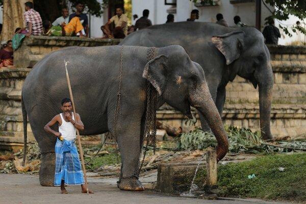 Mahút stojí pri slonoch pred každoročným slávnostným sprievodom v Chráme Budhovho zuba v meste Kandy.