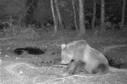 Medveďa spozorovali poľovníci.